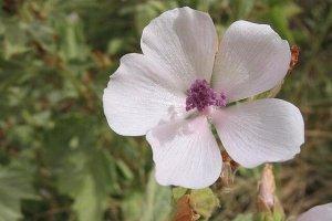 640px-Althea_officinalis_flor